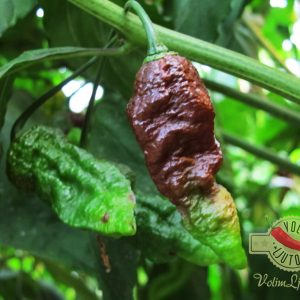 Bhut Jolokia Chocolate sadnica chili papričice 18