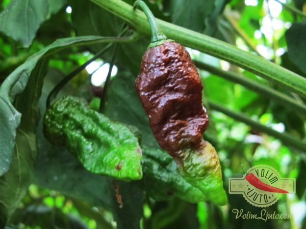 Bhut Jolokia Chocolate sadnica chili papričice 6