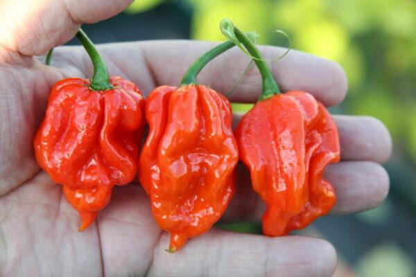 Naga Viper sadnica chili papričice 4