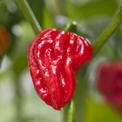 Naga Viper sadnica chili papričice 5