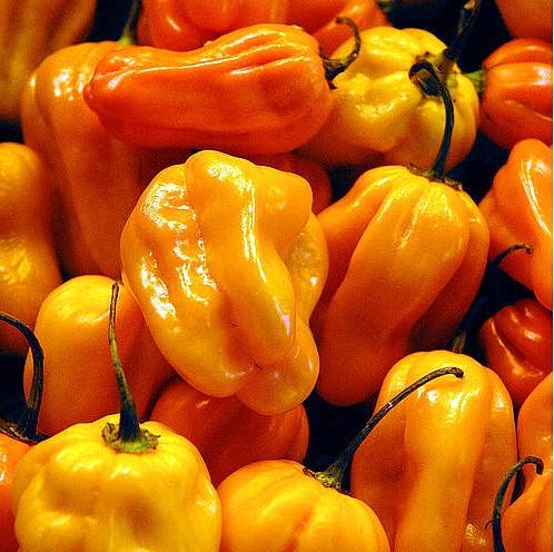 Habanero Yellow sadnica chili papričice 4