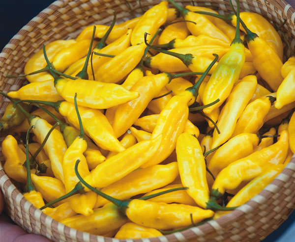 Aji Yellow (Lemon Drop) sadnica