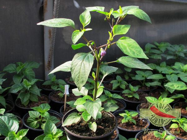 Aurora sadnica chili papričice 4