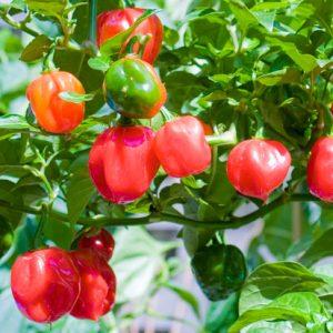 Habanero Red sadnica chili papričice 12