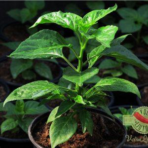 Habanero Yellow sadnica chili papričice 13