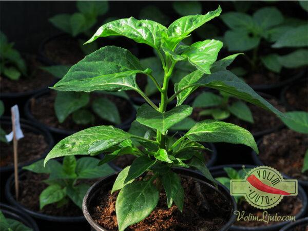 Habanero Yellow sadnica chili papričice 5