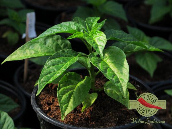 Red Savina Habanero sadnica chili papričice 6