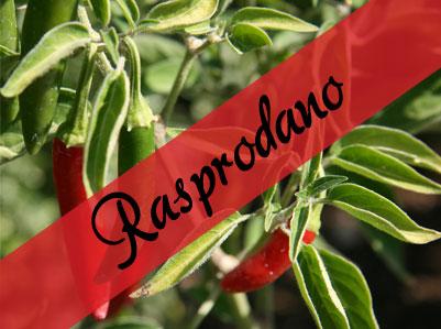 Serrano sadnica chili papričice 7