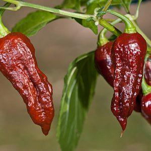 Bhut Jolokia Chocolate sadnica chili papričice 20