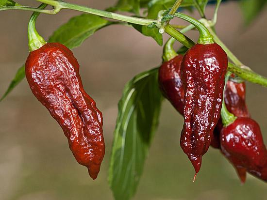 Bhut Jolokia Chocolate sadnica chili papričice 8