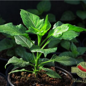 Bhut Jolokia Chocolate sadnica chili papričice 19