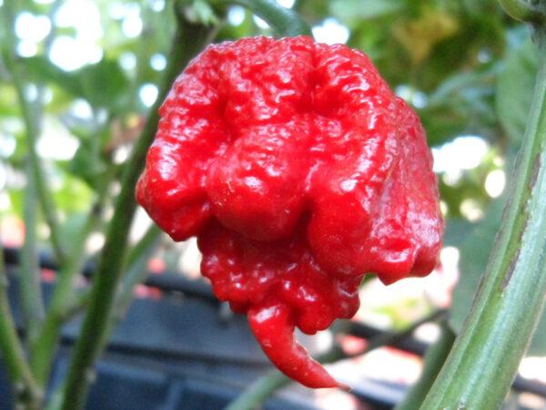 Carolina Reaper sadnica chili papričice 4