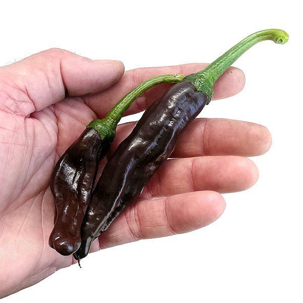 Ecuadorian Brown sadnica