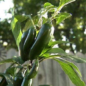Sadnice chili papričica / presadnice chili paprike 7