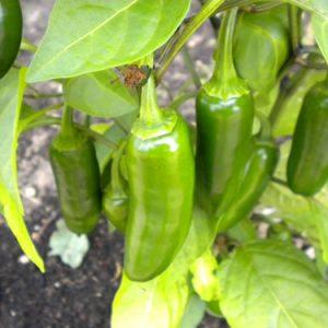 Jalapeno sadnica chili papričice 15