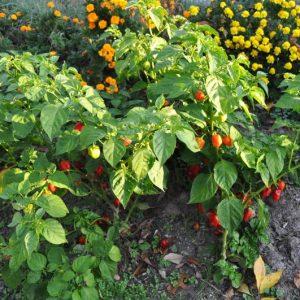 Habanero Red sadnica chili papričice 13