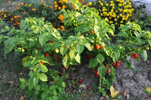 Habanero Red sadnica chili papričice 5