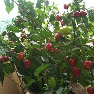 Habanero Red sadnica chili papričice 14