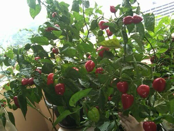 Habanero Red sadnica chili papričice 6