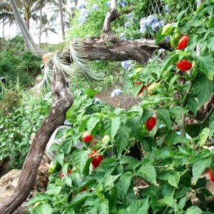 Habanero Red sadnica chili papričice 15