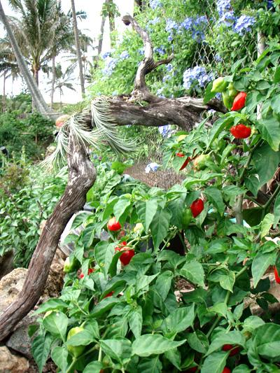 Habanero Red sadnica chili papričice 7