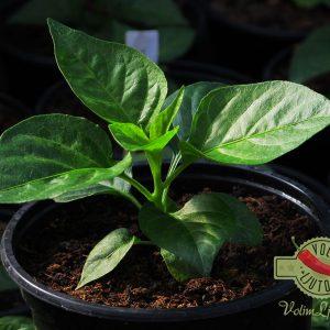 Habanero Red sadnica chili papričice 17
