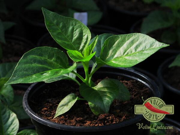 Habanero Red sadnica chili papričice 9