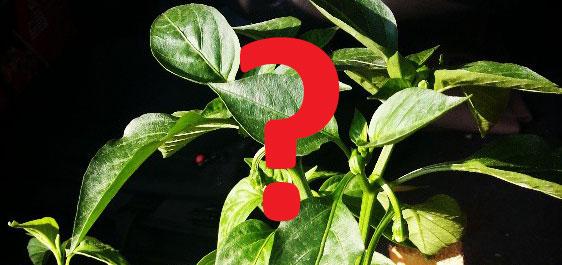 Odgovori na sva pitanja o uzgoju ljutih papričica iliti ljuti FAQ 7