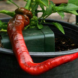 Hot Portugal sadnica chili papričice 16