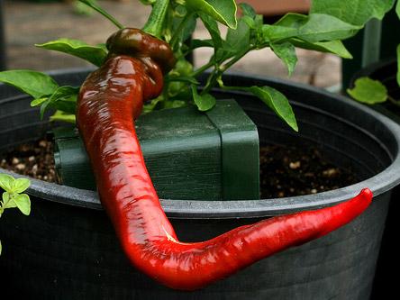 Hot Portugal sadnica chili papričice 8