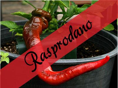 Hot Portugal sadnica chili papričice 7