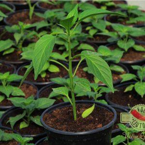 Jalapeno sadnica chili papričice 18