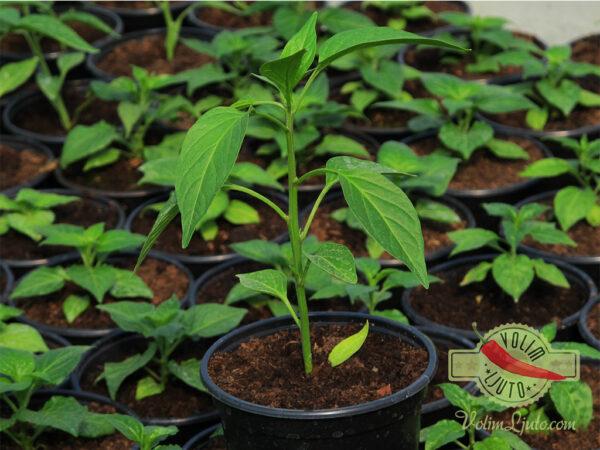 Jalapeno sadnica chili papričice 8