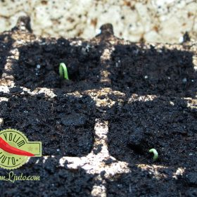 Vodič za uzgoj ljutih papričica iz sjemena 6