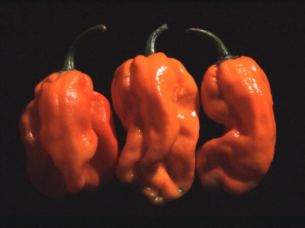 Habanero Numex Suave Orange sadnica