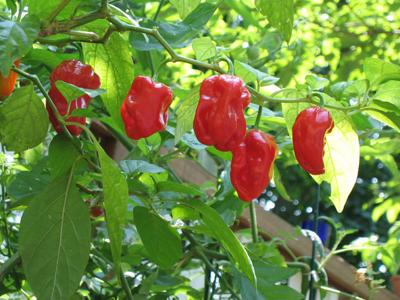 Red Savina Habanero sadnica 1