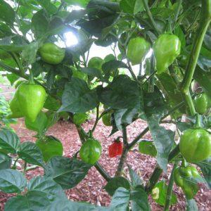 Red Savina Habanero sadnica chili papričice 12