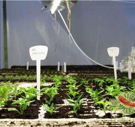 Umjetna rasvjeta za uzgoj chili papričica - 4 vrste rasvjete + 1 loša 1