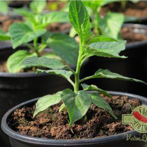 10 razloga zašto uzgajati chili papričice u plasteniku 6
