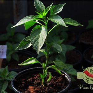 Serrano sadnica chili papričice 13