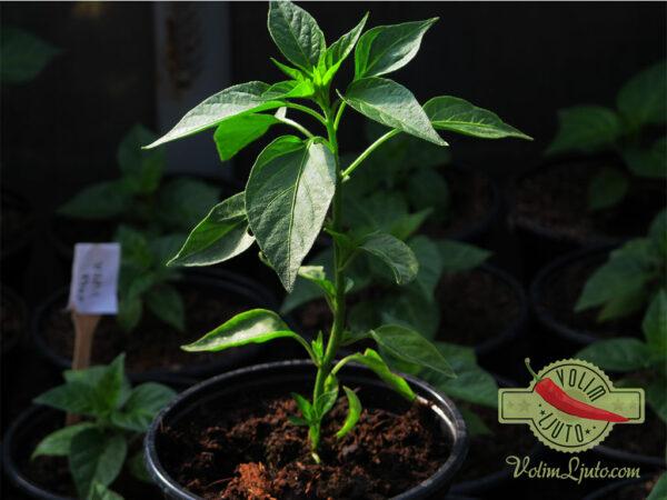 Serrano sadnica chili papričice 6