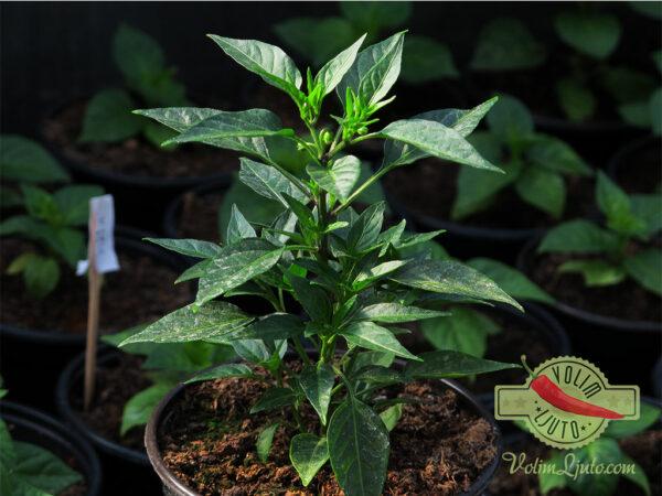 Thai Hot sadnica chili papričice 6