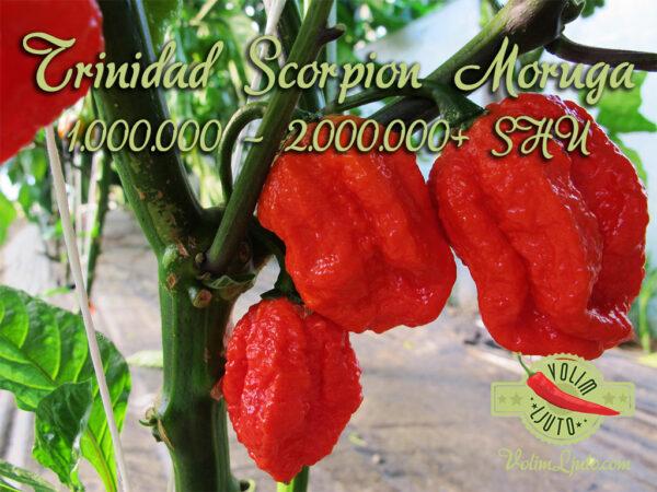 Trinidad Scorpion Moruga - svježe chili papričice 13