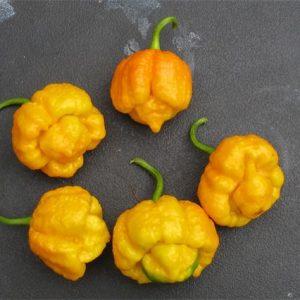 Trinidad Scorpion Yellow sadnica chili papričice 15