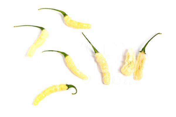Aribibi gusano - VolimLjuto.com