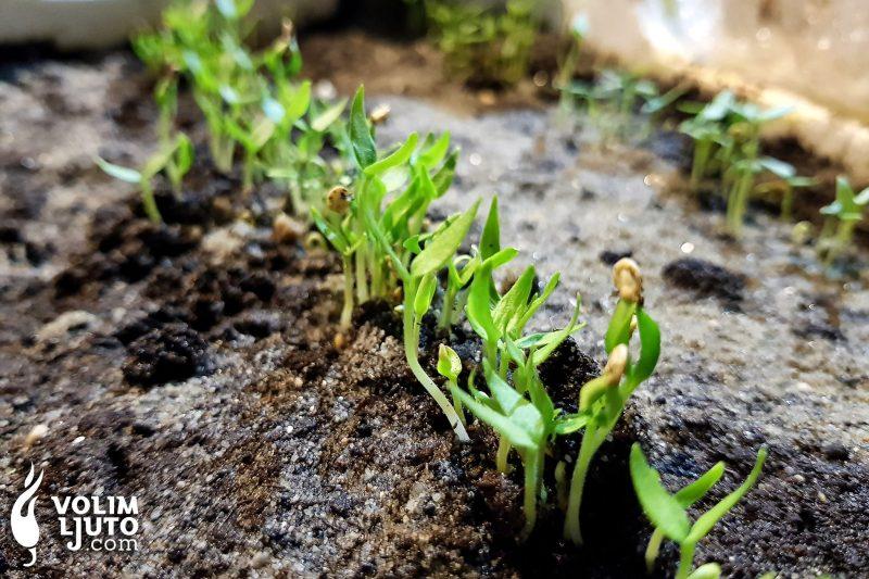 Vodič za uzgoj ljutih papričica iz sjemena 2