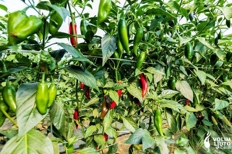 Top 5 chili papričica za uzgajivače početnike 1
