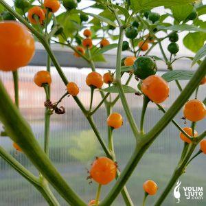 Quintisho - Sjemenke chili papričica 6