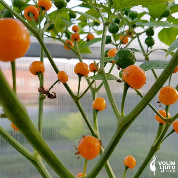 Quintisho - Sjemenke chili papričica 4