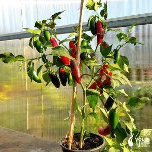 Jalapeno Craig's Grande - Sjemenke chili papričica 6